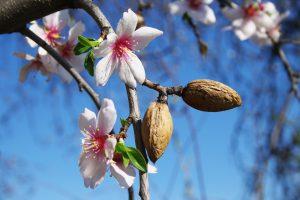 بادام درختی