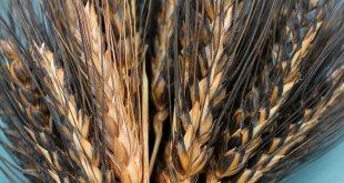 آیا گندم سیاه همان باک ویت است؟